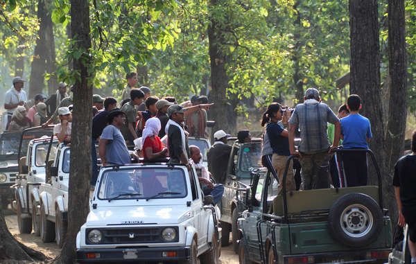 Large numbers of tourists frequently visit Indian tiger reserves in jeeps.