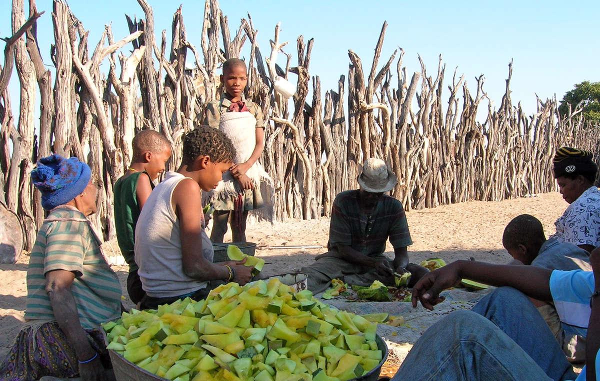Les Bushmen sont forcés de dépendre des melons d'eau, leur unique source d'eau potable, ne disposant plus de puits sur leur territoire.
