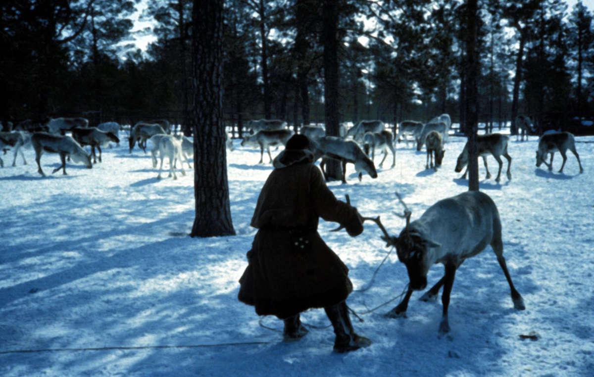 Khanty preparando al reno para atarlo al trineo, Siberia 1992.