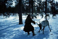 Khanty lassoing reindeer for sleigh, Siberia 1992