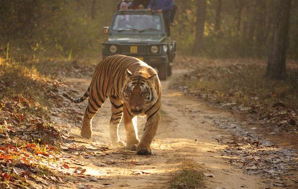 Los pueblos indígenas y tribales son los mejores conservacionistas. A pesar de ello, son expulsados ilegalmente de sus tierras ancestrales en nombre de la conservación de tigres.