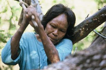 Ibore benutzt eine traditionelle Axt, um einen Bienenstock zu öffnen