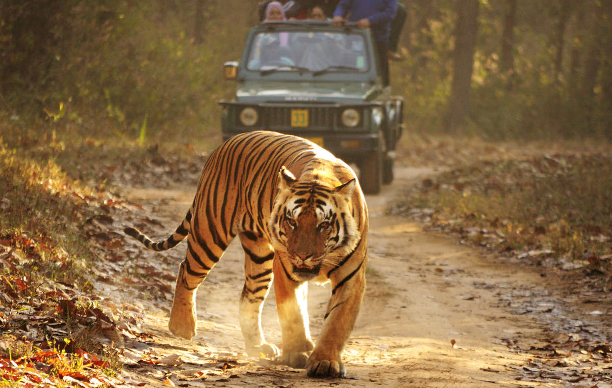 While tribal people have been illegally evicted from Kanha Tiger Reserve – home of the Jungle Book – tourists are welcomed in.