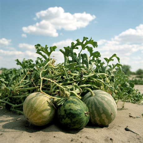 Bitter melons, a valuable source of water, growing in the Bushmen community of Metsiamenong, Central Kalahari Game Reserve, Botswana, 2007.