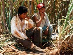 Guarani children work on the sugar cane fields which now cover much of their people's ancestral lands in Mato Grosso do Sul state
