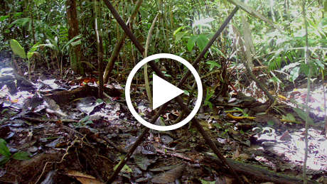 Uncontacted-tribes-peru-thumb_460_wide_play