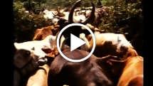 Mursi-cattle-thumb_widescreen_medium_small_play